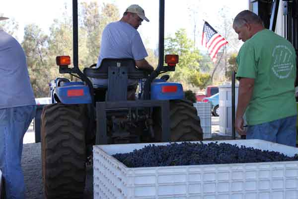 Wine Harvest Workers Moving Bins of Grapes at the Start of the Low-Input Winemaking Style at Indian Peak Vineyards Winery in Manton, CA 96059.